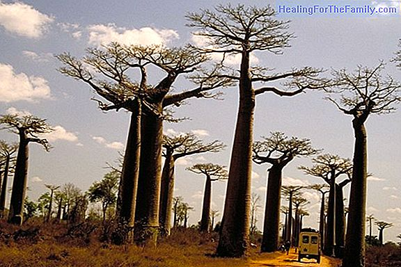 The Baobab. African legend for children