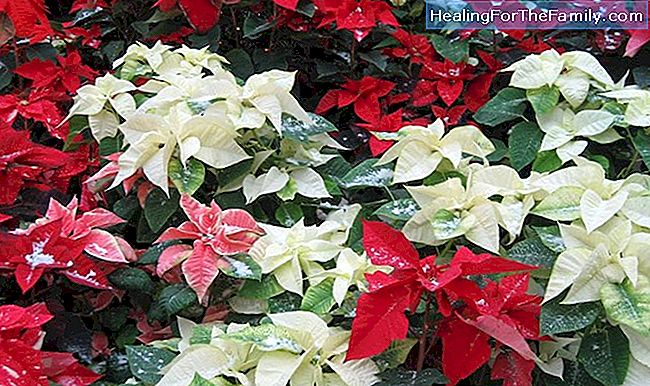 Poinsettia blomman. Christmas legend Mexico